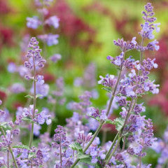 Nepeta racemosa 'Walker's Low' Catmint