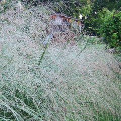 Panicum 'Thundercloud' Switchgrass