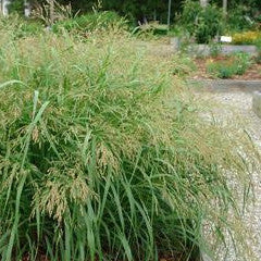 Panicum virgatum 'Cape Breeze' Compact Switch Grass