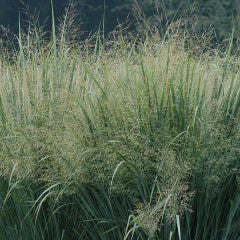 Panicum virgatum 'Northwind' Switch Grass