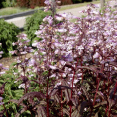 Penstemon 'Dark Towers' beardtongue