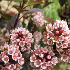 Physocarpus opulifolius 'Donna May' Little Devil™ Compact Ninebark