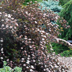 Physocarpus opulifolius 'Summer Wine'® Nine Bark