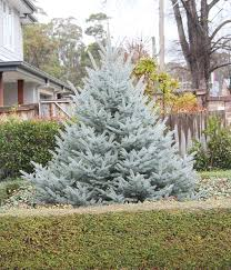Picea pungens 'Fat Albert' Blue Spruce