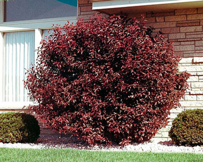Prunus x cistena Purple Leaf Sand Cherry