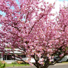 Prunus serrulata 'Kwanzan' Double Pink Japanese Flowering Cherry