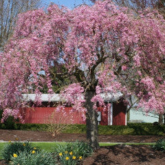 Prunus x 'Pisnshzam' Pink Snow Showers™ Weeping Cherry