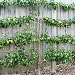 Pyrus communis 'Bartlett' Pear Espalier