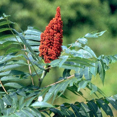 Rhus glabra 'Laciniata' Smooth Sumac