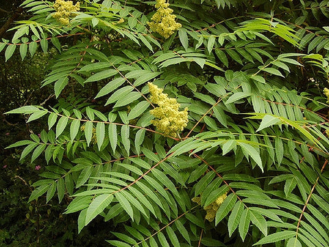Rhus glabra Smooth Sumac