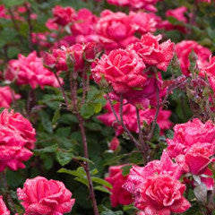 Rosa Knock Out® Rose
