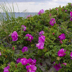 Rosa rugosa 'Purple Pavement' Beach Tomato or Salt Spray Rose