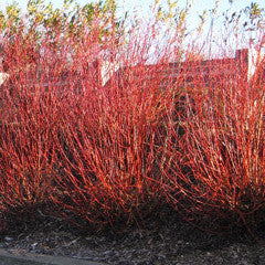 Salix 'Flame' Willow