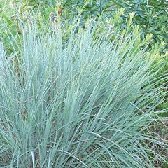 Schizachyrium scoparium Little Bluestem