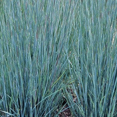 Schizachyrium scoparium 'Prairie Blues' Little Bluestem