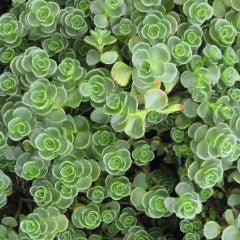 Sedum spurium 'John Creech'