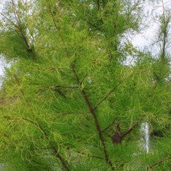 Taxodium ascendens 'Debonair' Pond Cypress