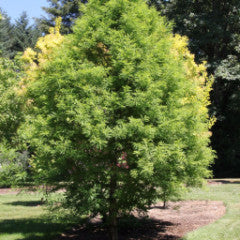 Taxodium distichum 'Green Whisper' Bald Cypress