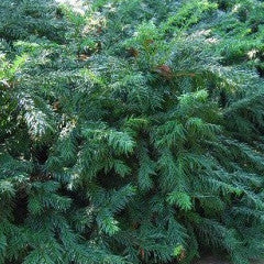 Taxus baccata 'Repandens' English Yew