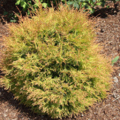 Thuja occidentalis 'Congabe' Fire Chief™ Eastern Arborvitae