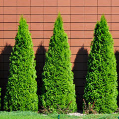 Thuja occidentalis 'Smaragd' Emerald Green Eastern Arborvitae