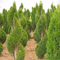 Thuja occidentalis 'Smaragd' Emerald Green Eastern Arborvitae Spiral