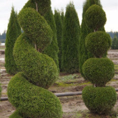 Thuja occidentalis 'Smaragd' Emerald Green Eastern Arborvitae Tiered