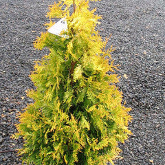Thuja occidentalis 'Yellow Ribbon' American Arborvitae