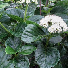 Viburnum bracteatum 'All That Glows' Arrowwood
