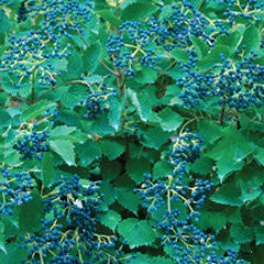 Viburnum dentatum 'Christom' Blue Muffin® Arrowwood