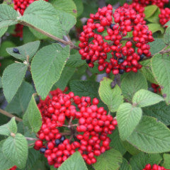 Viburnum x 'Redell' Red Balloon ™