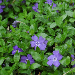 Vinca minor 'Bowels' Periwinkle