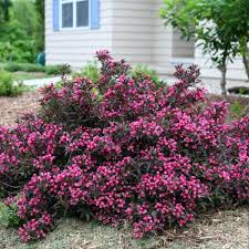 Weigela 'Spilled Wine'