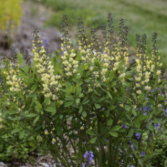 Baptisia x 'Vanilla Cream' False Indigo