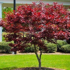 Acer palmatum 'Bloodgood' Japanese Maple Screen