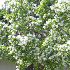 Chionanthus retusus Chinese Fringe Tree