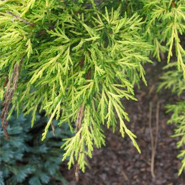 Juniperis chinensis x pfitzeriana 'Gold Lace' Juniper
