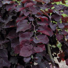 Cercis canadensis 'Ruby Falls' Weeping Redbud