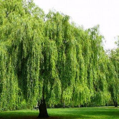 Salix babylonica Weeping Willow