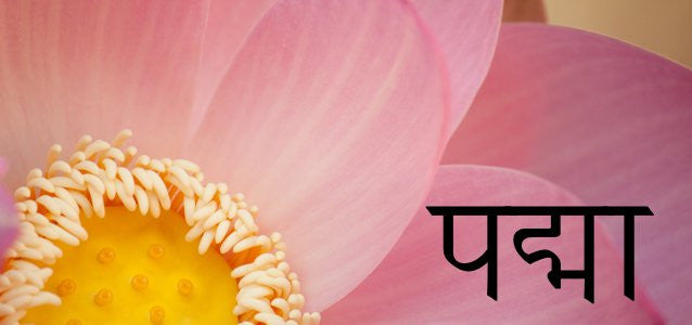 Why the lotus flower is so important loch ness water gardens padma is the sanskrit word for the lotus plant which is also called the sacred lotus or indian lotus mightylinksfo