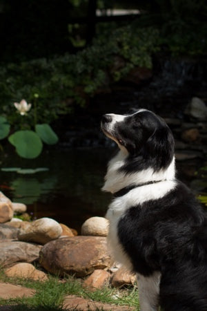 Our pond mascot, Scout