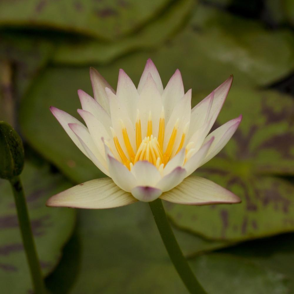 Charleston Aquatic Nurseries Pond Plants Charleston White Delight
