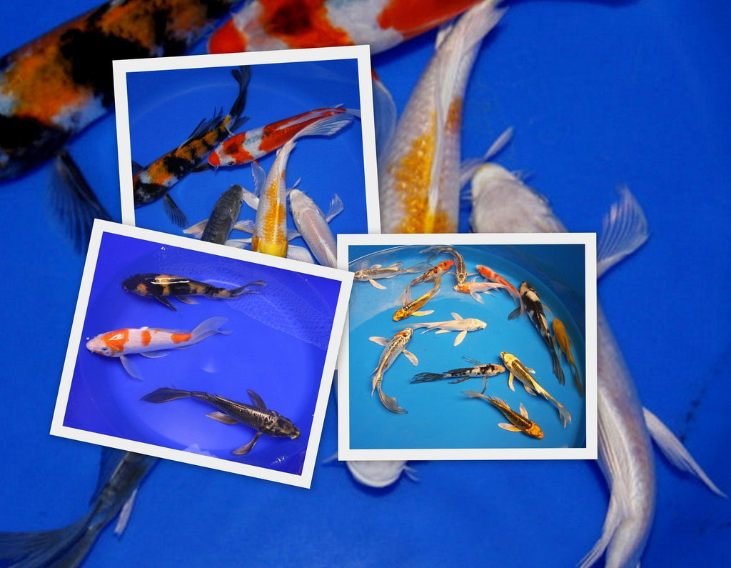 "Koi Koi 3 ""Choice"" 8 -10 inch Butterfly Koi Pond Pack"