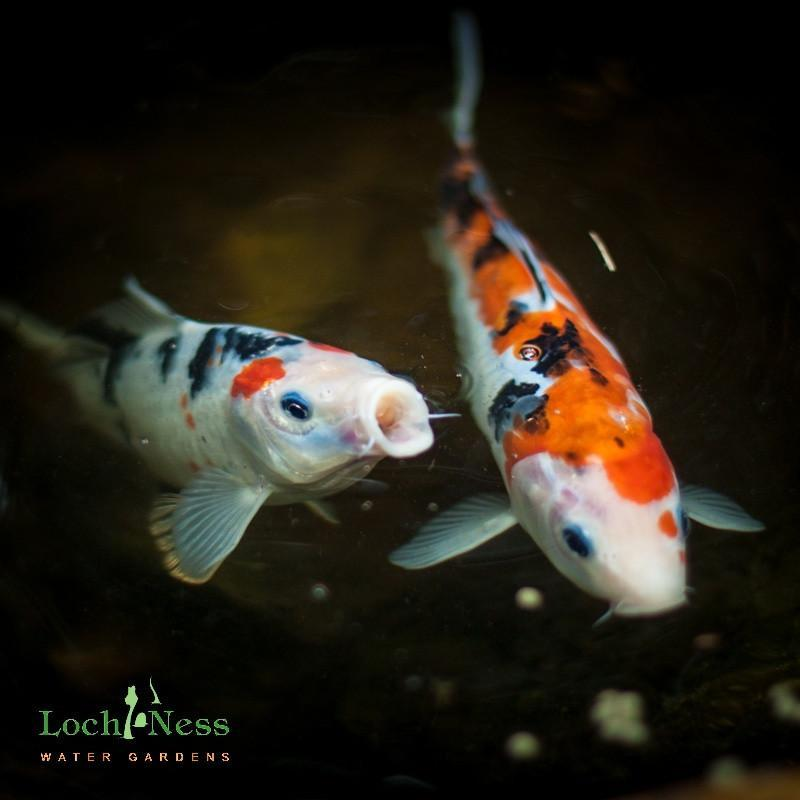 "Koi Koi 3 ""Choice"" 8 -10 inch Koi Fish Pond Pack"