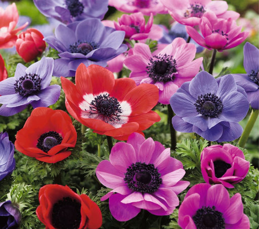 Anemone Poppy Mixed
