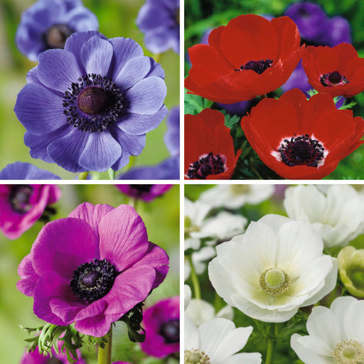 Anemone Poppy Collection