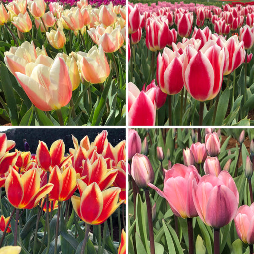 Tulip Darwin Hybrid Bi Colour Collection