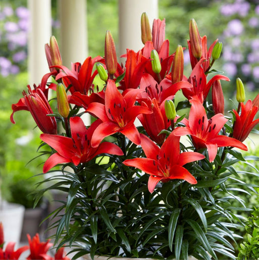 POT LILIUM BLUSHING JOY
