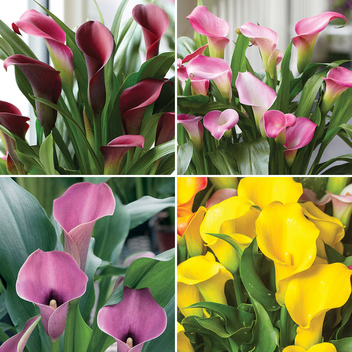 Calla Lily Collection. Special offer - 25% off!