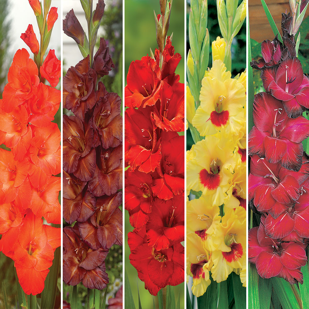 Gladioli Fire Collection. Special offer - 25% off!